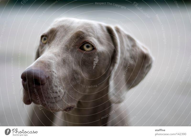 TIA MO! [Weimar 2008] Hund Tier Auge niedlich Säugetier Schnauze Tierliebe Streicheln Jagdhund betteln Hundeblick Bellen