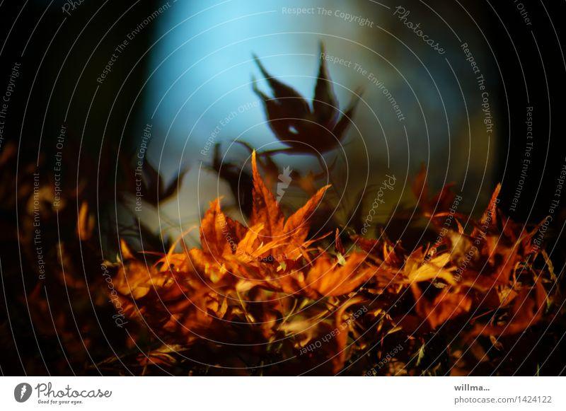 bielefelder blätterteig   helgiland II Natur Herbst Schönes Wetter Blatt Blätterdach herbstlich Herbstfärbung Ahornblatt Japanischer Ahorn Blutahorn