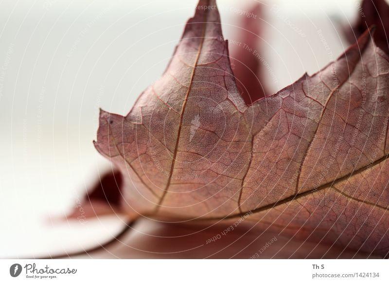 Blatt Natur Pflanze schön weiß Blatt ruhig Winter Herbst natürlich braun Design elegant authentisch ästhetisch einfach einzigartig