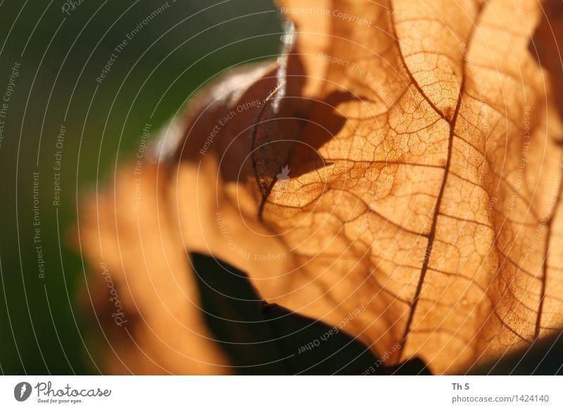 Blatt Natur Pflanze Herbst Winter verblüht ästhetisch authentisch einfach elegant nah natürlich braun grün Gelassenheit geduldig ruhig Design einzigartig