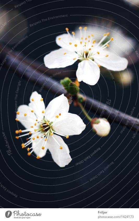 Pflaumenblüte Natur Pflanze Frühling Baum Blüte Obstbaum Pflaumenbaum Wiese natürlich gelb orange weiß weiße Blüte Farbfoto Außenaufnahme Menschenleer Tag
