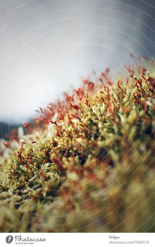 Moosblüte Pflanze Frühling Blüte natürlich grün rot Natur Makroaufnahme Farbfoto Außenaufnahme Nahaufnahme Detailaufnahme Menschenleer Tag Zentralperspektive