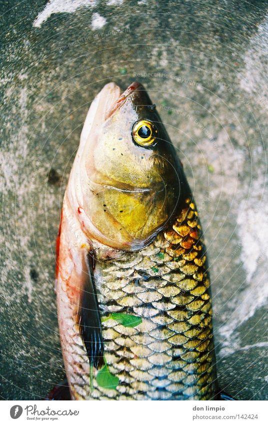 true analog colors Fisch Stein Dickkopf Tod döbel allesfresser ungenissbar 24mm