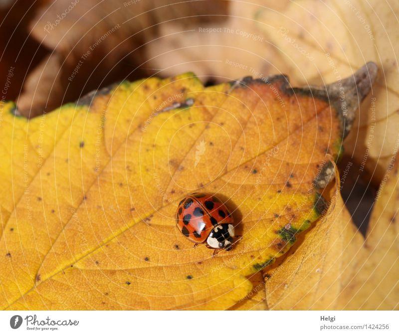 Helgiland II | Käferlein... Natur Pflanze schön rot Blatt Tier schwarz Umwelt gelb Leben Herbst natürlich klein braun liegen Zufriedenheit