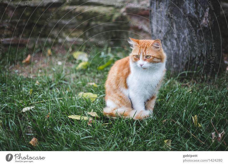 01_Katze auf Wiese in Istanbul Natur Tier Haustier Nutztier Wildtier beobachten frei Freundlichkeit schön kuschlig braun gold rot einzigartig Selbstständigkeit