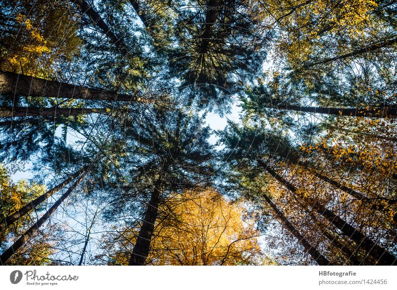Bis in die Spitzen Umwelt Natur Landschaft Pflanze Herbst Baum Laubbaum Nadelbaum Wald gelb gold Kraft ruhig Wachstum aufstrebend Gipfel Baumkrone Farbfoto
