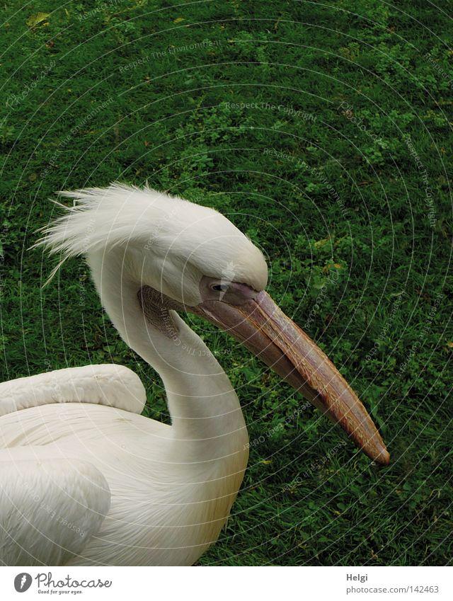 Wuschelkopf... Natur weiß grün Sommer schwarz Tier Auge Wiese Gras Kopf Haare & Frisuren Park Vogel rosa Feder