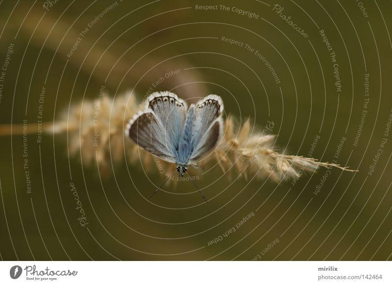 Startposition Schmetterling blau Unschärfe Ähren Halm weiß Fühler Bläulinge hervorgehoben silbergrün
