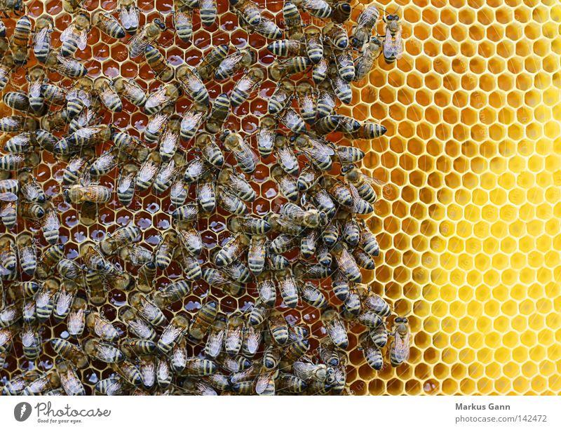 Bienen Bienenwaben Wabe Honig Völker König Pollen süß Flügel sitzen gelb Facettenauge Sommer bestäuben Insekt Stachel Schwarm bestäubung