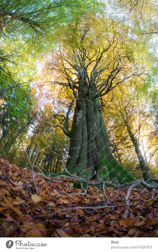 Baumwelten II Umwelt Landschaft Pflanze Urelemente Herbst Schönes Wetter Grünpflanze Wildpflanze Laubbaum Blatt Blätterdach Baumstamm Baumkrone Wald Wachstum