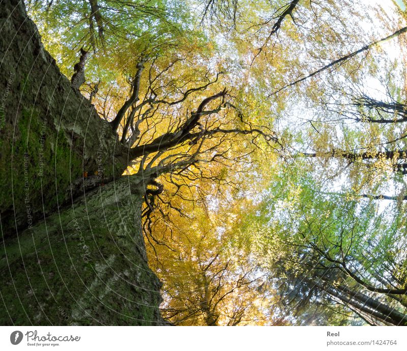 Blätterdach Natur Pflanze Sonne Baum Blatt ruhig Wald Umwelt Leben Herbst Holz braun oben wild Wachstum gold
