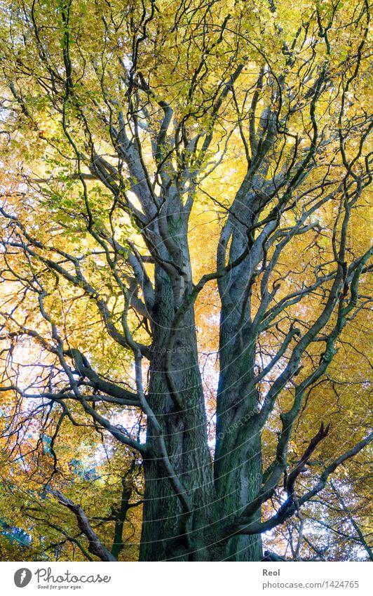 Gabelung Umwelt Natur Pflanze Urelemente Herbst Schönes Wetter Baum Blatt Wildpflanze Baumstamm Abzweigung Zweige u. Äste Wald mehrfarbig gelb gold leuchten