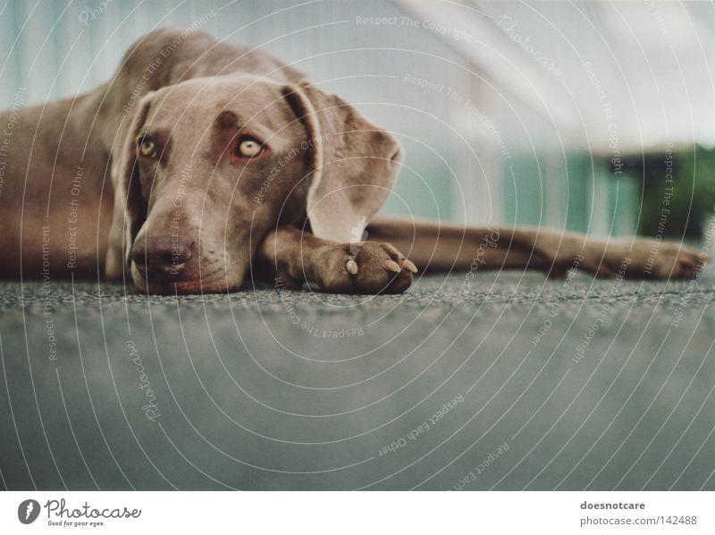 as days pass by. schön Tier Hund liegen niedlich Langeweile Müdigkeit Weimaraner Jagdhund analog Säugetier tia warten Farbfoto Gedeckte Farben Außenaufnahme