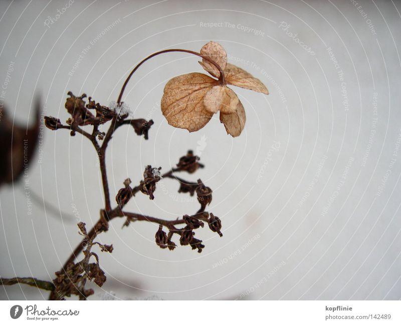 Blume im Frost Blüte Winter getrocknet Eindruck Hortensie Gartenhortensie Zweig Schnee