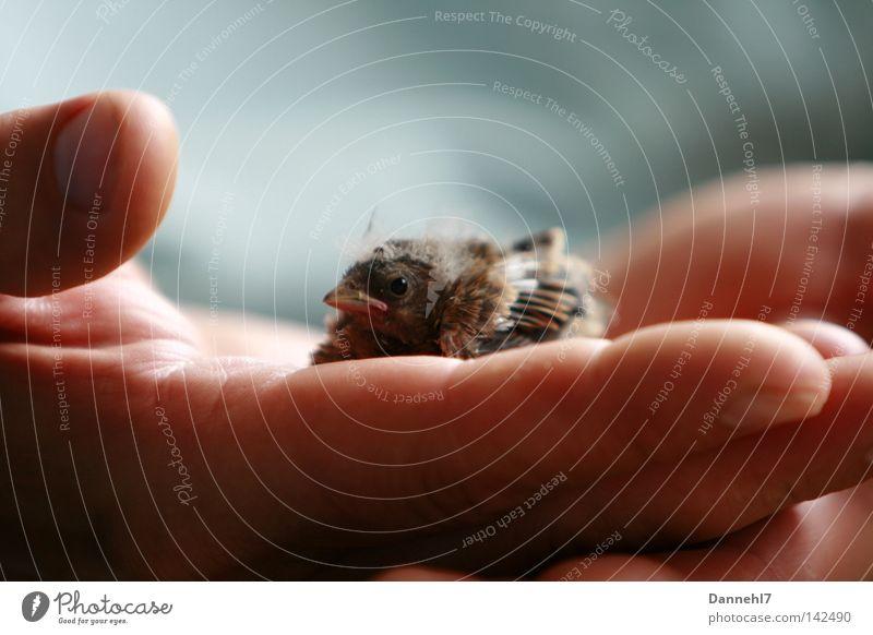 Geborgen Hand Einsamkeit Vogel klein groß Hilfsbereitschaft Sicherheit Feder Vertrauen Geborgenheit Schnabel Spatz Hilfsbedürftig