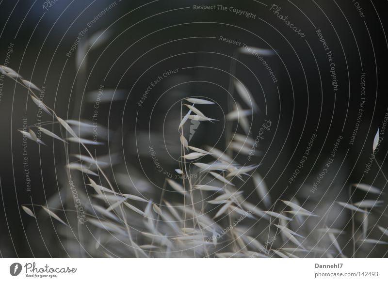 schwarz - weiß - Gras Unschärfe Samen grau Wiese Abend