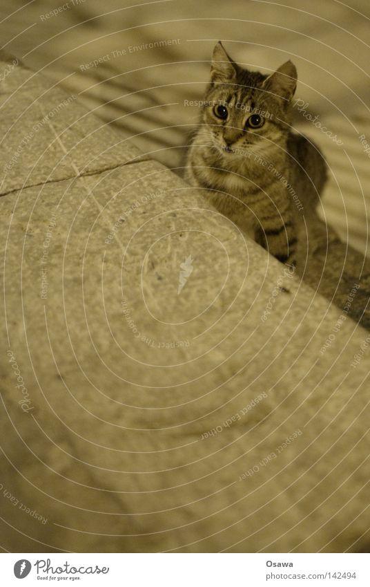nachtaktiv Katze Katzenbaby Hauskatze verkatert Haustier Straße Dubrovnik Italien grau Nacht Säugetier Staßenkatze getigert