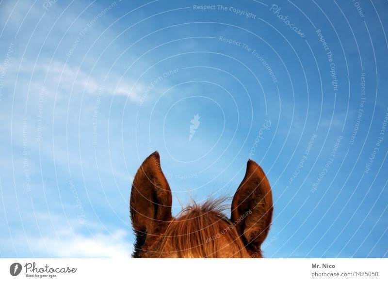 Märchen | Großmutter,was hast du für große Ohren? Himmel Tier Pferd blau braun Pferdekopf Wachsamkeit hören Pony Ponys Fell Fellfarbe Freizeit & Hobby tierisch