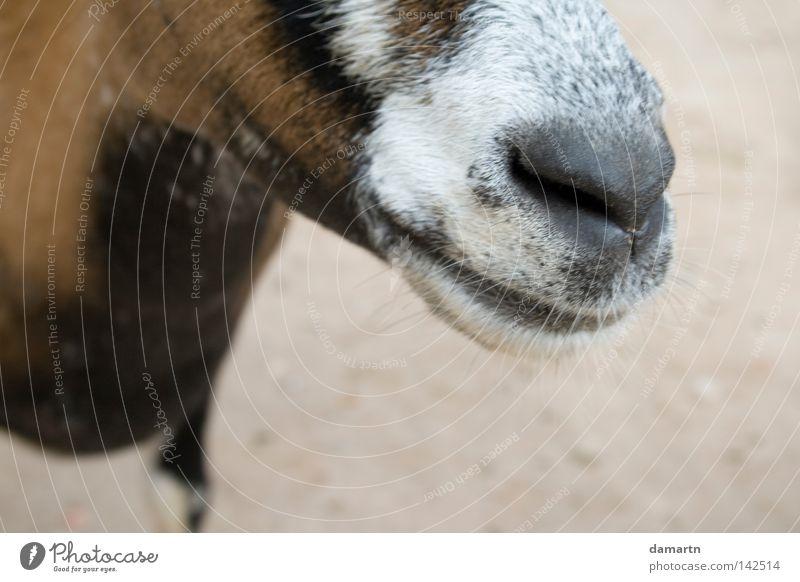 Der richtige Riecher Tier lachen Nase Zoo Geruch Säugetier Schnauze Ziegen