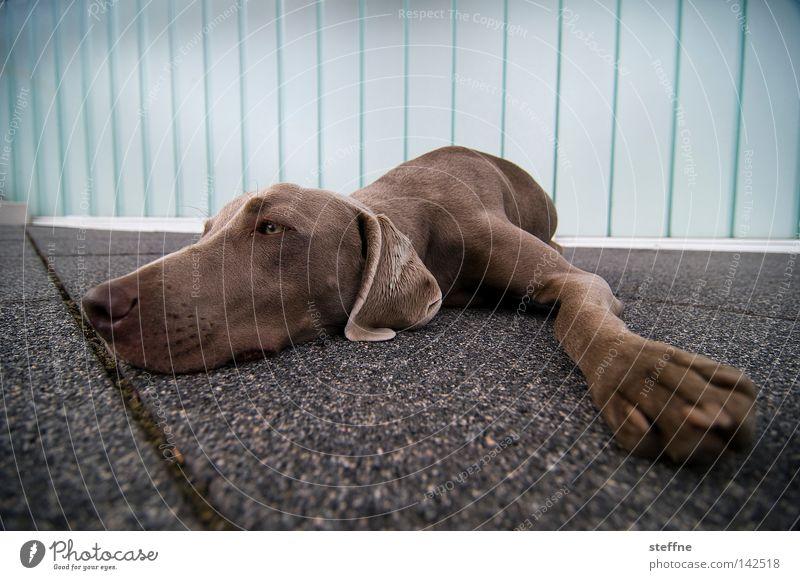 Montagsdepression Hund Erholung Tier Traurigkeit niedlich schlafen Säugetier Langeweile kuschlig bequem Schnauze Kuscheln Bodenplatten Tierliebe Jagdhund betteln