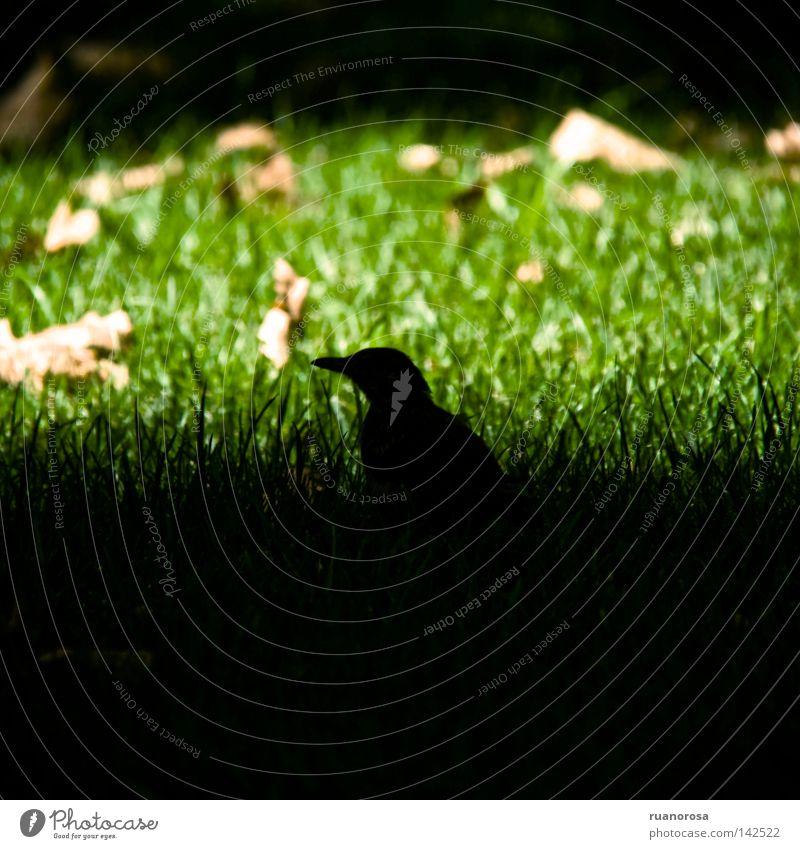 Merula Tier Vogel Gras Park Sommer Schatten grün Blatt Tag Rasen