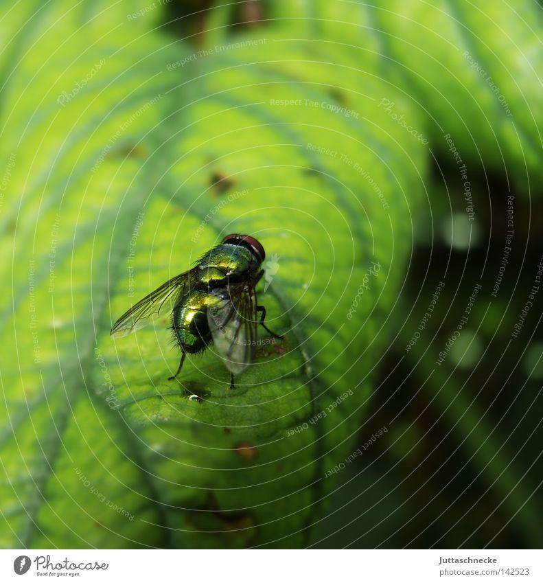 Puck Fliege Insekt Blatt grün glänzend sitzen Fleischfliege Natur Flügel Wissenschaften Sommer lästig Juttaschnecke Außenaufnahme