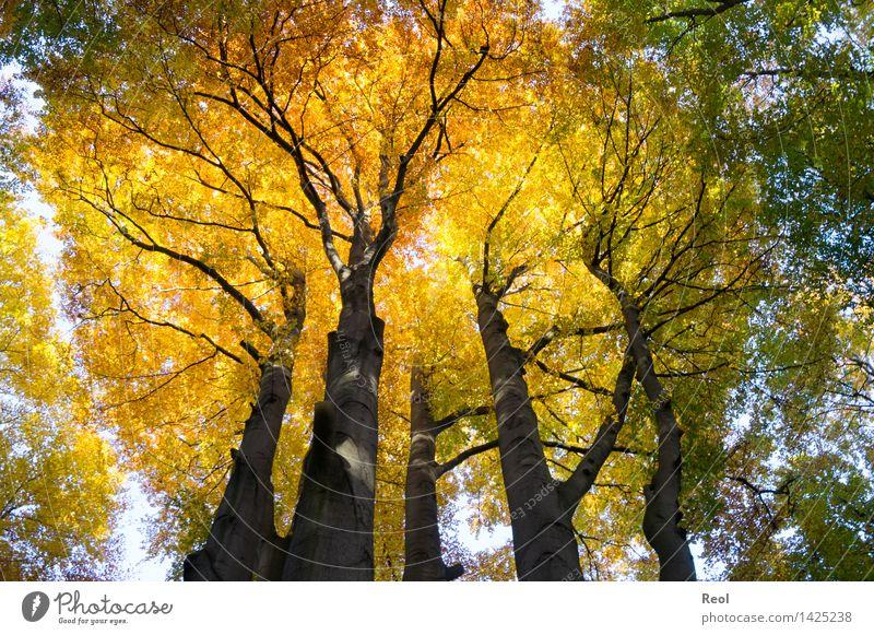 Krone Umwelt Natur Landschaft Urelemente Sonnenlicht Herbst Schönes Wetter Pflanze Baum Wildpflanze Baumkrone Blätterdach Blatt Buche Baumstamm Wald Buchenwald