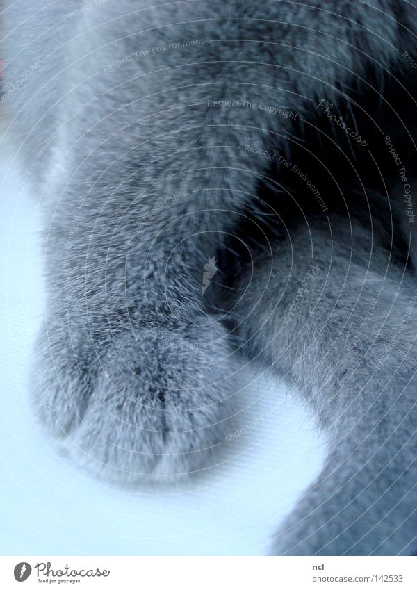 Flauschpfote blau grau Katze weich Fell Säugetier Pfote Schwanz Krallen Hauskatze Katzenbaby Fleece