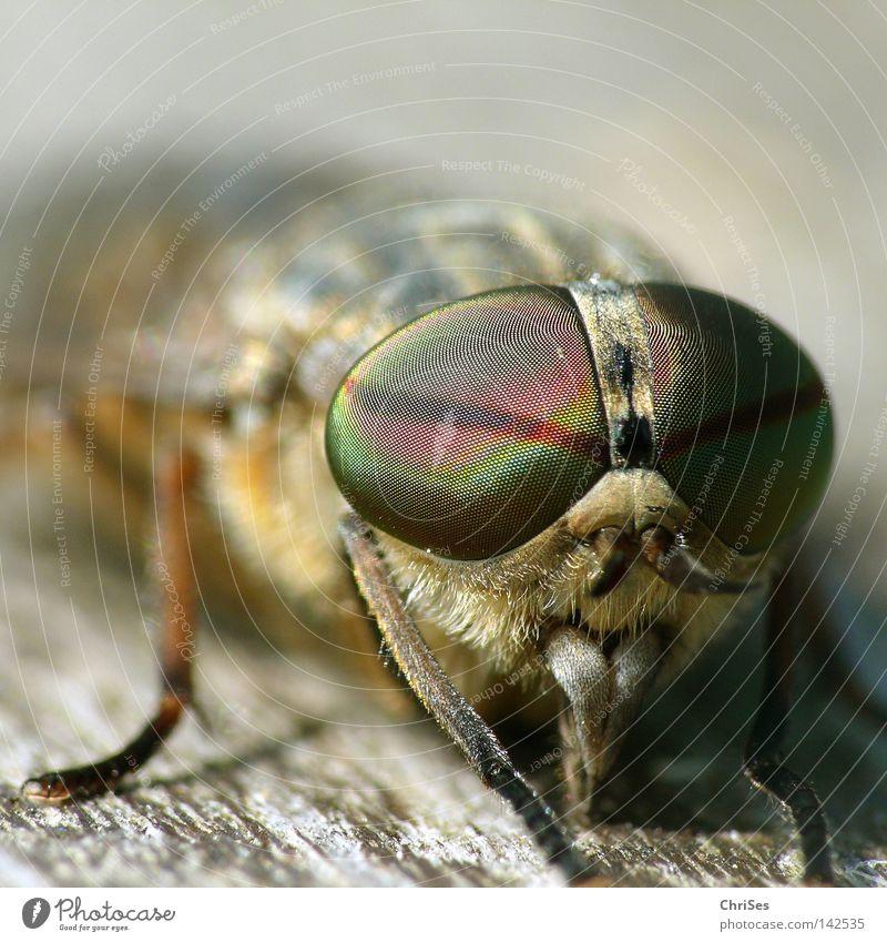 Männliche Bremse (Tabanus bromius) Zweiflügler Insekt Brunft Blut Tier Fliege saugen Schädlinge Pflanzenschädlinge Auge grau braun Holz Holzbrett Juckreiz Angst