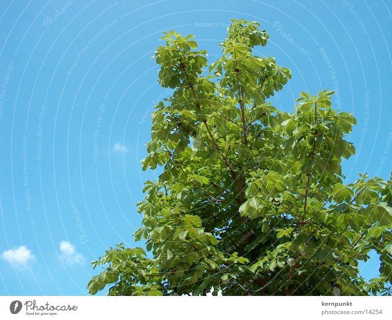Baum und Himmel Luft grün Blauer Himmel