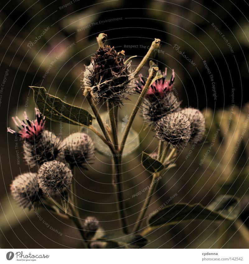 Anhänglich [Weimar08] Große Klette aufhängen anhänglich Pflanze Natur Blume Blühend Blüte stachelig grün Detailaufnahme Makroaufnahme Nahaufnahme Unschärfe