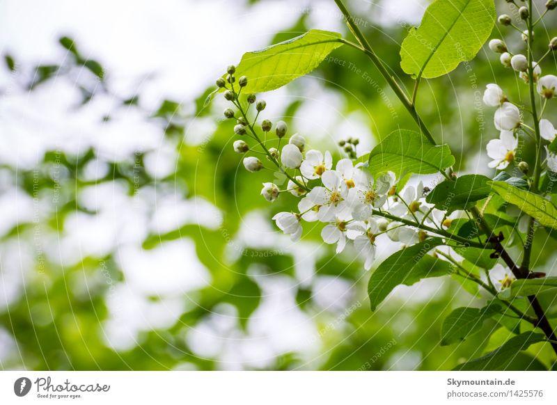 Traubenkirsche Natur Pflanze blau grün weiß Baum Blatt Wald Berge u. Gebirge Umwelt gelb Blüte Wiese Garten braun Felsen