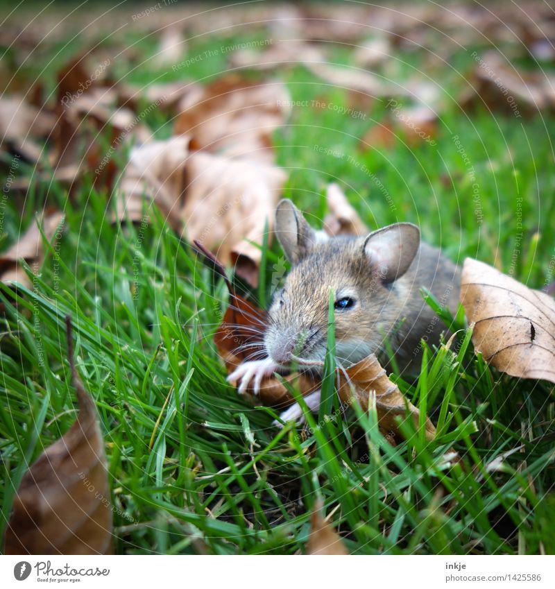 Mäuschen klein, saß allein Natur Blatt Tier Herbst Wiese Gras Garten Park Wildtier niedlich nah Tiergesicht Herbstlaub Maus ausruhend