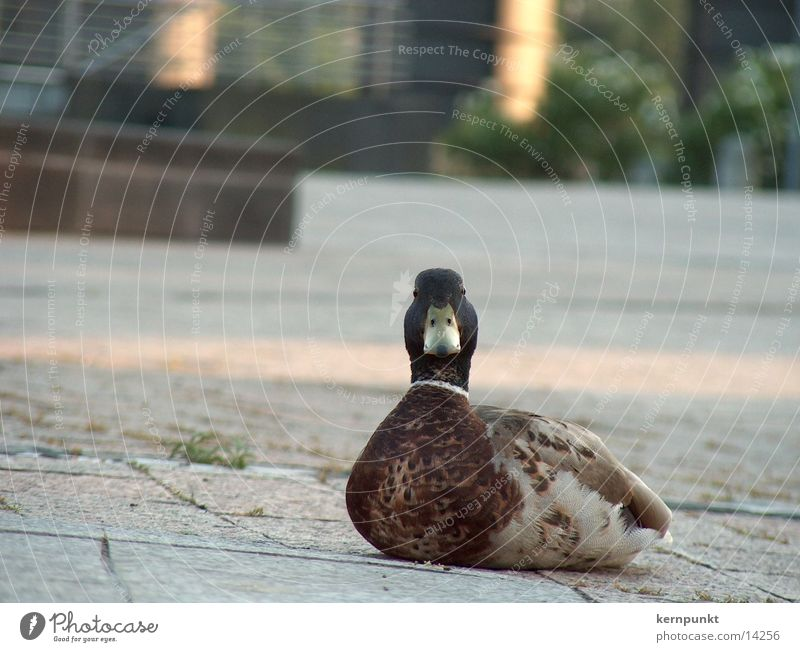 Ente süß-sauer trocken Steinboden