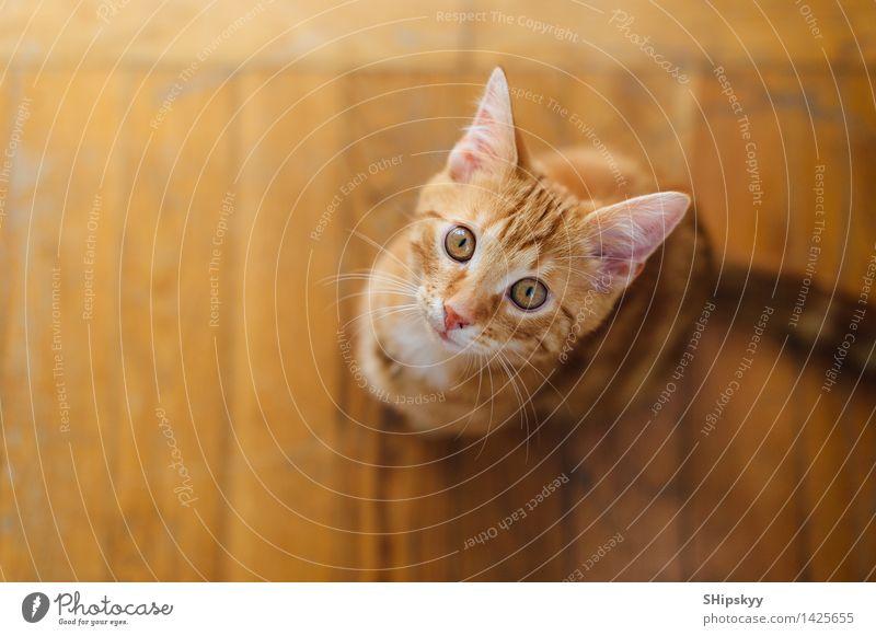 Kleine Katze, die auf dem Boden steht Auge Haus Tier Haustier 1 Tierjunges Blick sitzen gelb weiß Farbfoto mehrfarbig Textfreiraum links Hintergrund neutral