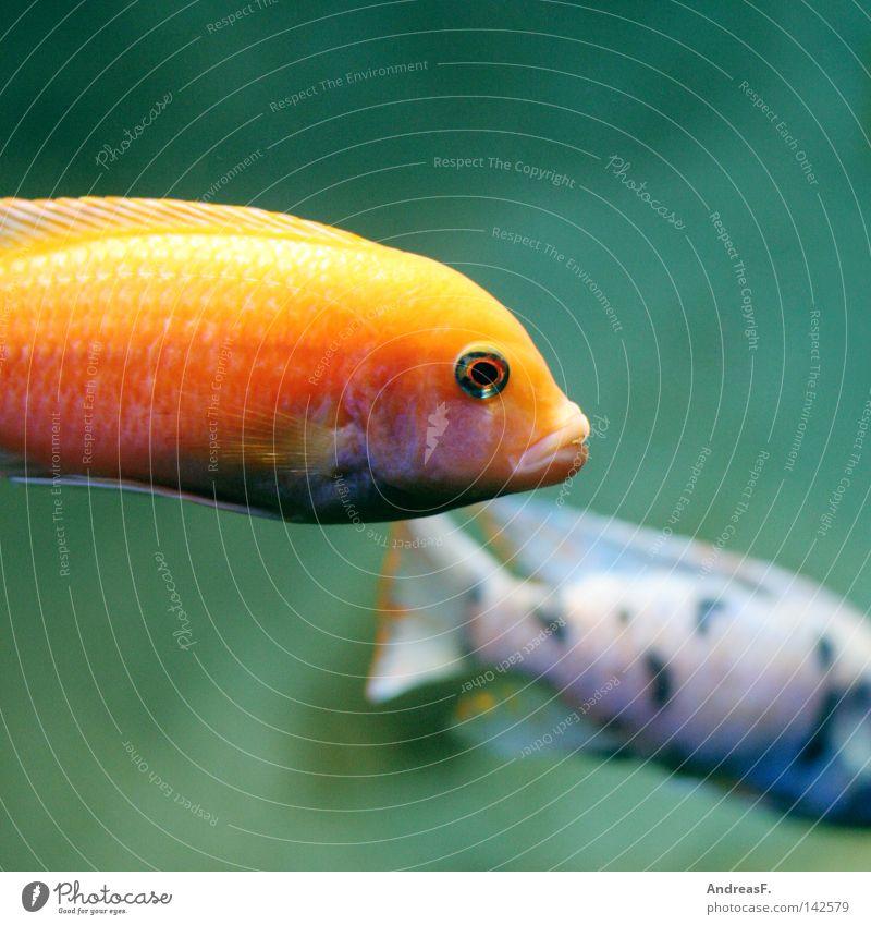 Fischkopp Natur Wasser Meer Umwelt Traurigkeit Schwimmen & Baden orange Mund tauchen Urwald Unterwasseraufnahme Umweltschutz Aquarium Schnorcheln Schmollmund