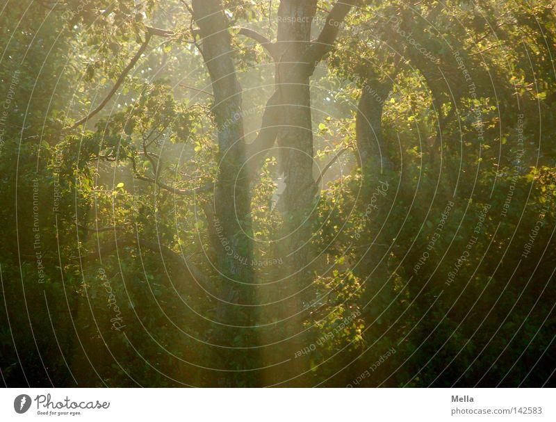 Frühmorgenwald Natur Baum Pflanze Wald Umwelt natürlich geheimnisvoll mystisch