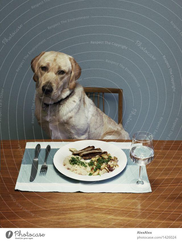 Junger, blonder Labrador sitzt an einem Esstisch vor einem Teller mit Nürnberger Würstchen, Bratkartoffeln und Sauerkraut - mit Wasser im Glas und Besteck