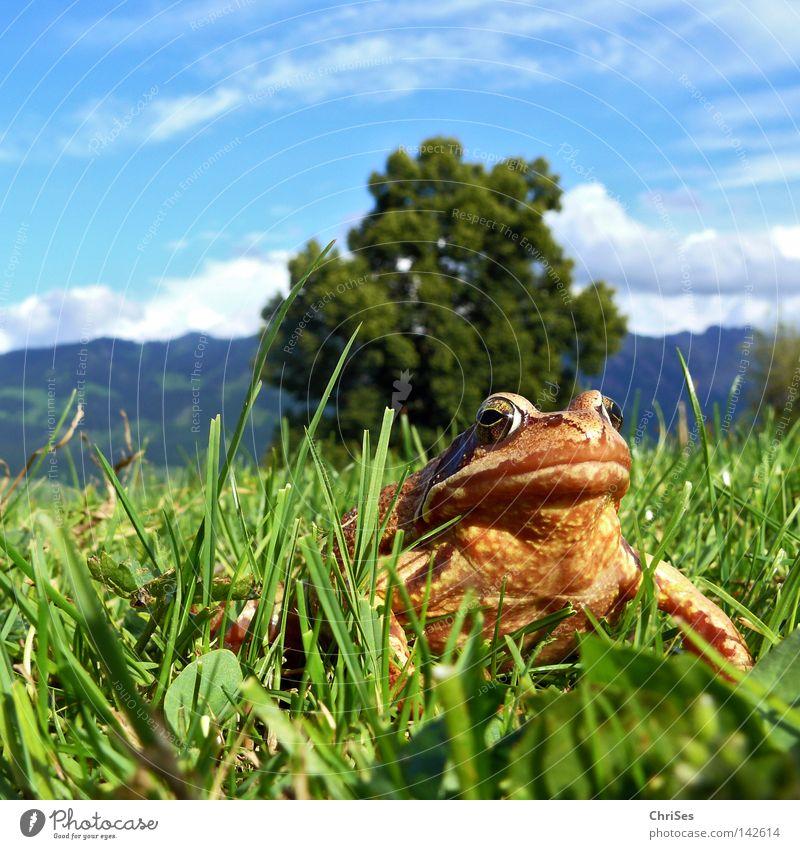 Grasfrosch : Der wahre König schaut ins Land_02 Wasser Himmel grün blau Sommer Tier Wiese springen Gras Berge u. Gebirge braun Schweiz Insekt Alpen entdecken Alpen