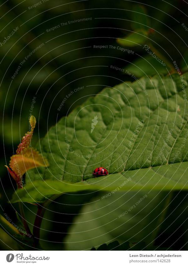 Marien-Anbeterin grün rot Pflanze Tier Blatt klein Feld süß niedlich Punkt Insekt Käfer krabbeln Marienkäfer Wegrand