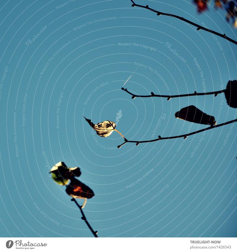 Letzte Herbstblätter an Astspitzen mit Knospen auf Blau Natur Luft Himmel Wolkenloser Himmel Sonnenlicht Schönes Wetter Dürre Baum Blatt Zweig Zweige und Äste