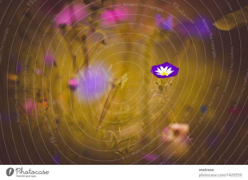 verträumt III elegant Stil Natur Pflanze Sommer Schönes Wetter Blatt Blüte Wildpflanze Blütenpflanze Blumenwiese Pflanzenteile Gräserblüte Blumenmix Park