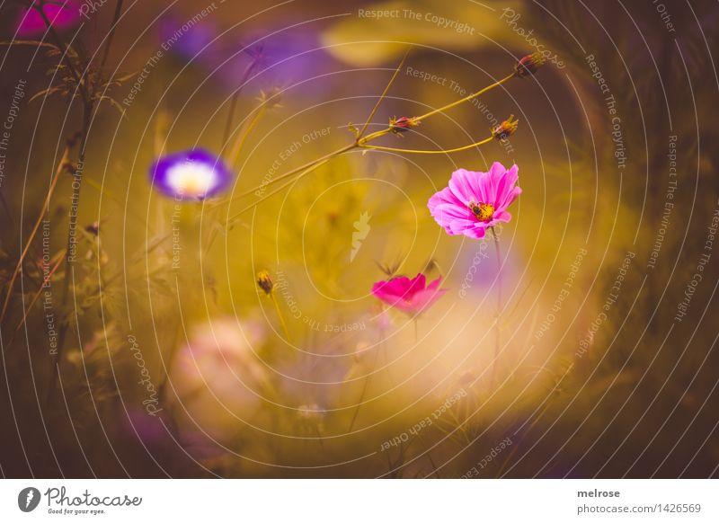 verträumt II elegant Stil Natur Pflanze Sommer Schönes Wetter Blume Gras Blüte Wildpflanze Blumenwiese Blütenknospen Blütenpflanze Pflanzenteile Park Farbfleck