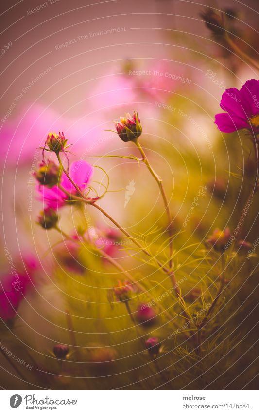 * Pinky * elegant Stil Natur Pflanze Sommer Schönes Wetter Blume Sträucher Blatt Blüte Wildpflanze Blütenknospen Pflanzenteile Gräserblüte Blütenblatt
