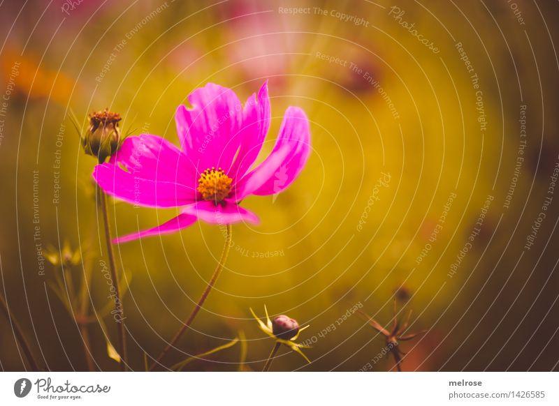 Spätsommer elegant Stil Natur Pflanze Sommer Schönes Wetter Blume Sträucher Blüte Wildpflanze Blütenknospen Pflanzenteile Garten anlehnungsbedürftig Anlehnung