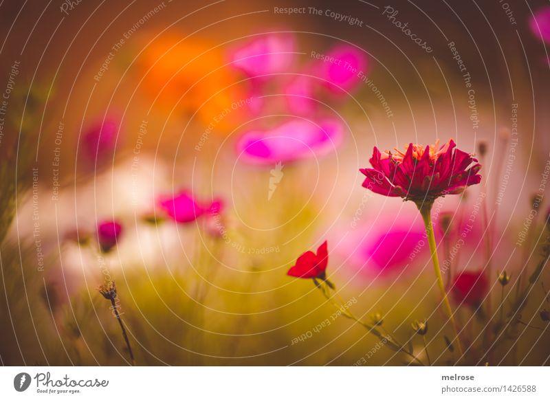 getupft elegant Stil Natur Pflanze Sommer Schönes Wetter Blume Blüte Blumenwiese Sommerblumen Blütenpflanze Gras Garten Blühend Erholung glänzend leuchten