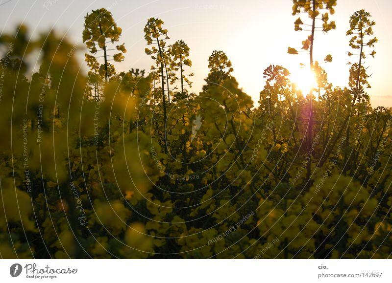 goldrausch Natur Blume Freude gelb Wiese Frühling Wärme Physik Raps