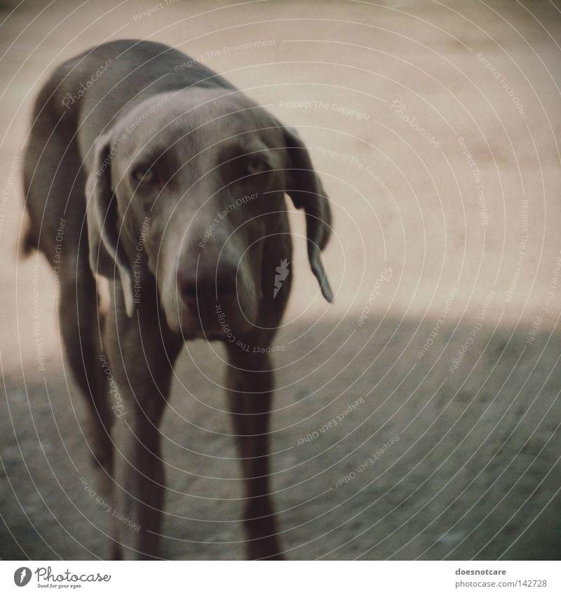 slow down. Tier grau Hund Traurigkeit Trauer analog Müdigkeit niedlich Langeweile Säugetier Schnauze Vignettierung Jagdhund Weimaraner Hundeblick