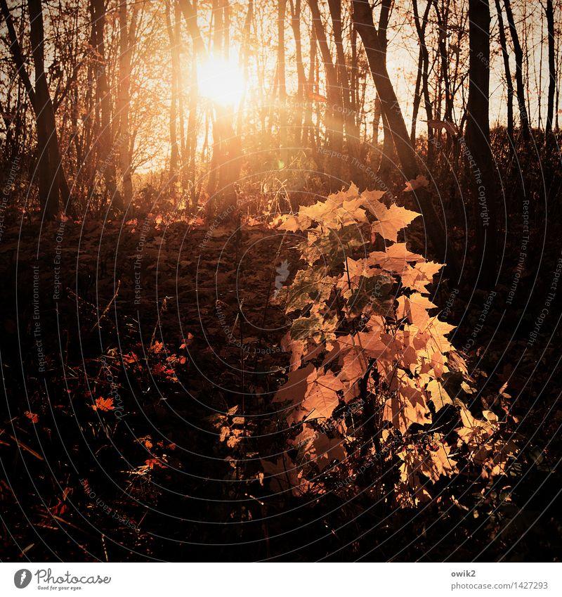 Herbstmode Umwelt Natur Landschaft Pflanze Klima Schönes Wetter Baum Sträucher Blatt Ahornblatt Zweige u. Äste leuchten glänzend klein mehrfarbig gold orange