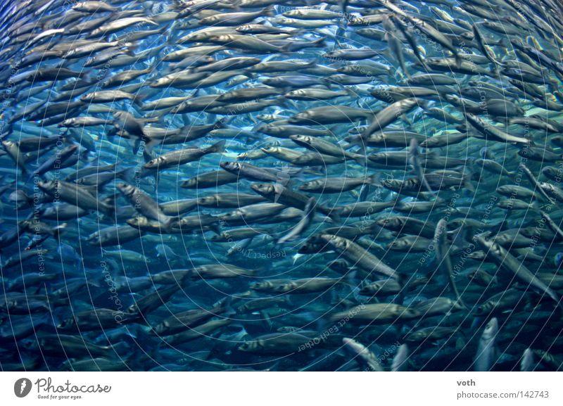 Fisch Wasser Meer blau Tier See tauchen Angeln Schwarm Meeresfrüchte Fischschwarm